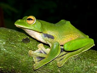 giant green frog
