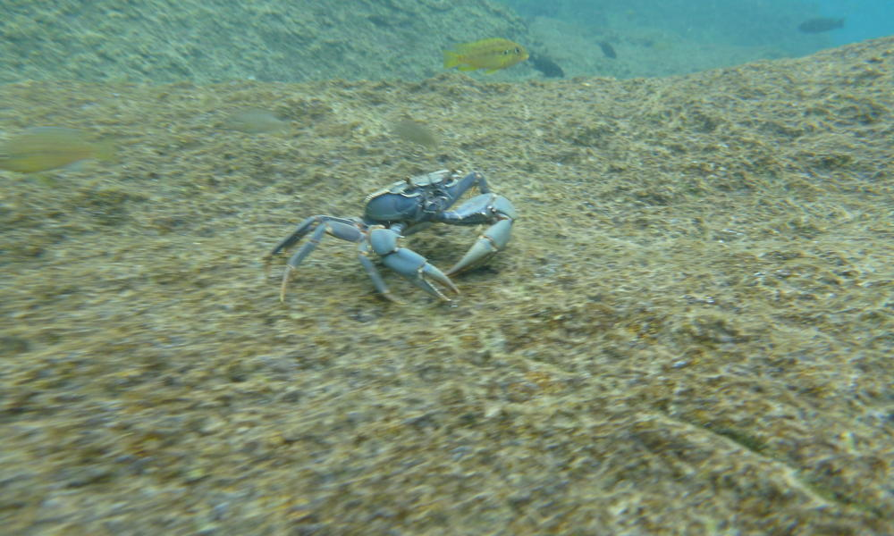 niassa crab