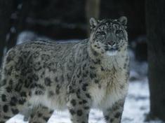 Lg-snow_leopard_hero_image_(c)_martin_harvey__wwf_canon