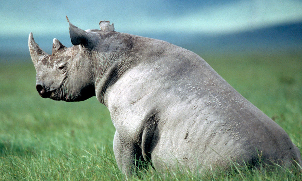 Rhino Horn S Real Value And Other Rhino Facts Stories Wwf