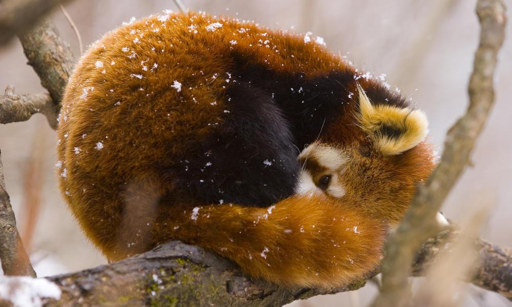 red panda sleeping