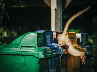 macaque in trash