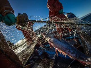 Southern hake caught in net