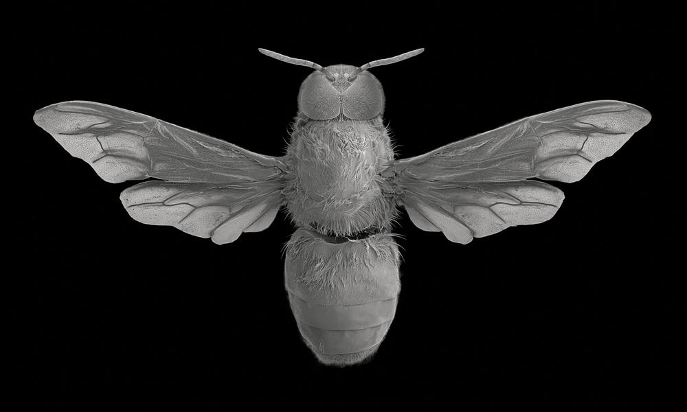 Drone bee, dorsal view