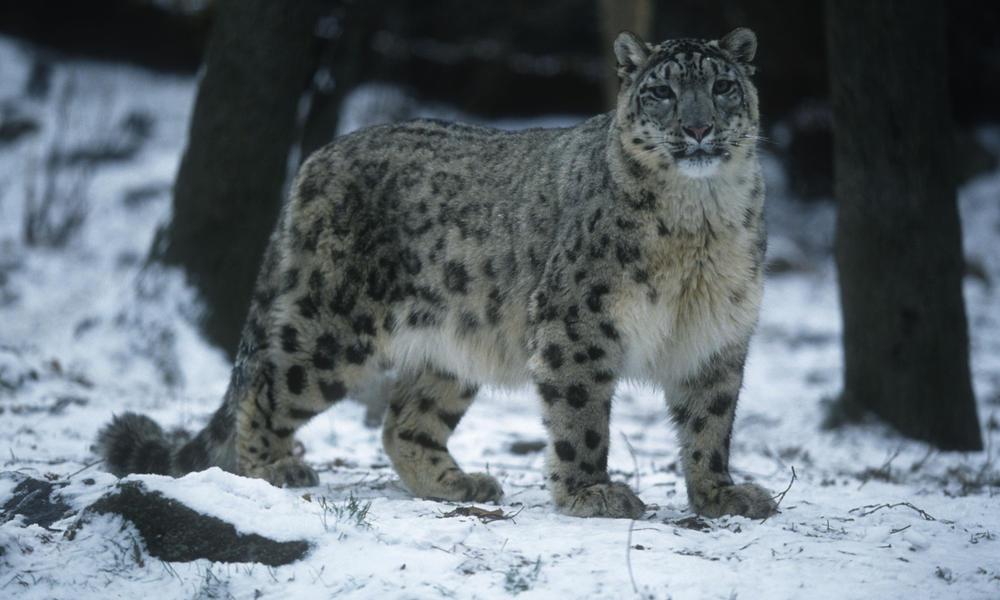 Lg snow leopard hero image %28c%29 martin harvey  wwf canon