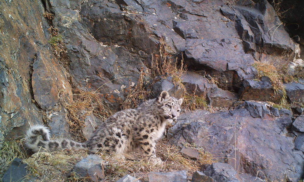 snow leopard in Mongolia