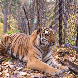 Tiger_behind_fence_in_rfe_credit_sybille