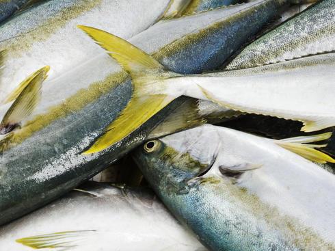 Freshly caught cape yellowtail fish (Seriola lalandi) lying on the beach.