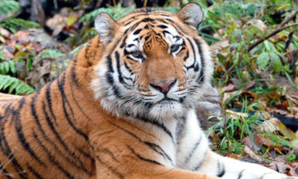 Amur tiger 107011