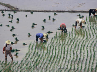 Rice farming in China