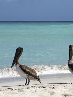 Cuban-Pelicans-iStock 000040836762Medium cienaga de zapata np