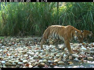 camera trap image of tiger in Terai Arc landscape