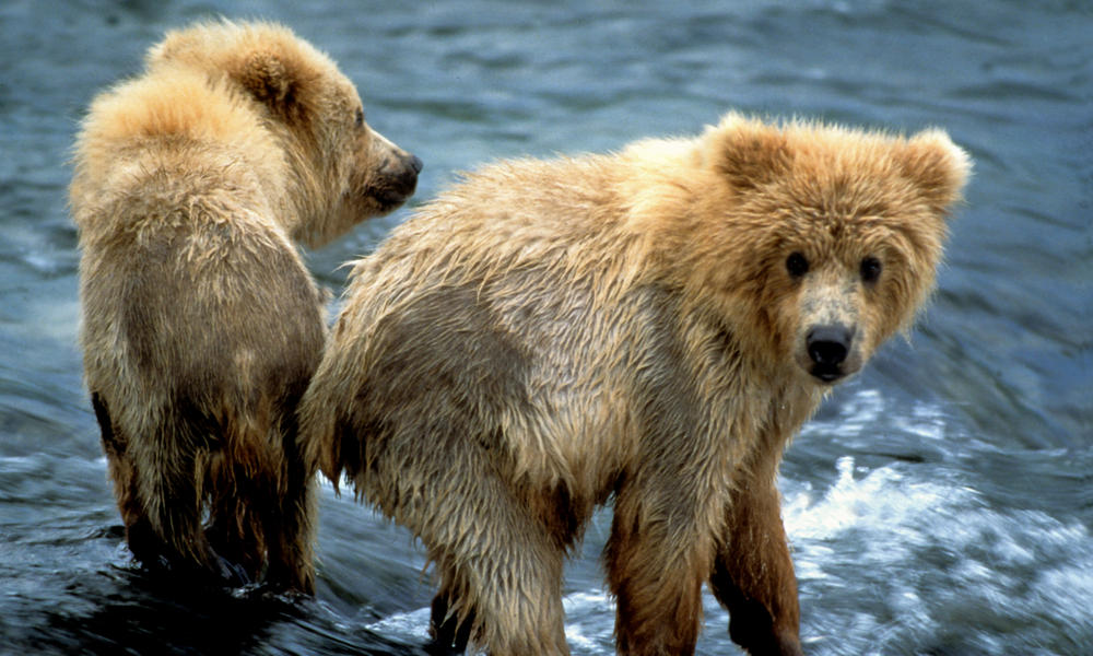 brown bears in water