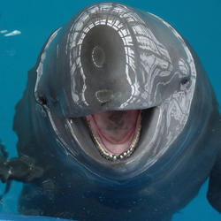 finless porpoise up close