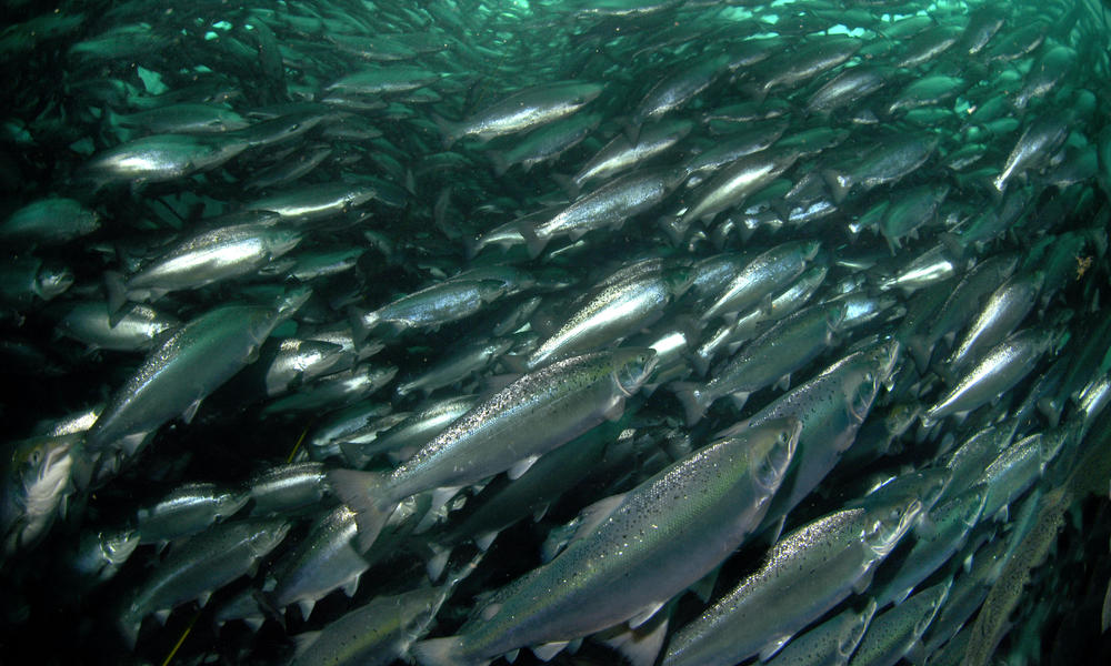 Farmed Salmon | Photos | WWF
