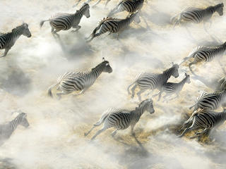 zebras aerial
