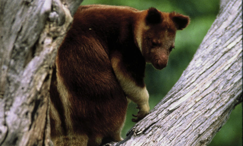 tree kangaroo on branch