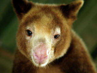 tree kangaroo portrait