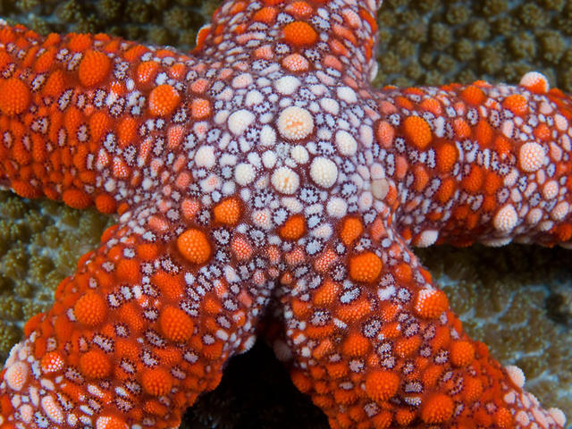 Friant's Sea Star