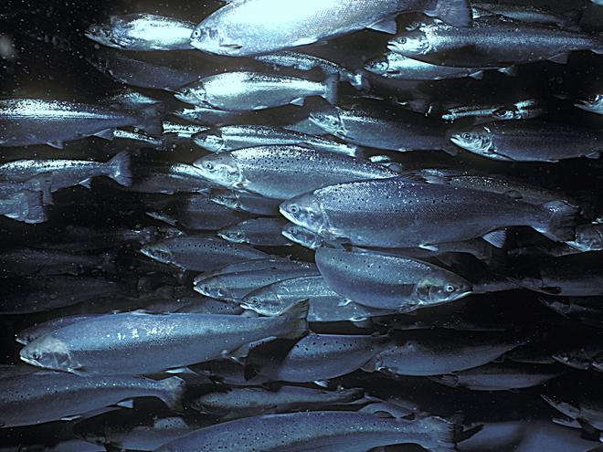 aquaculture-salmon-why-mattersHI 235578