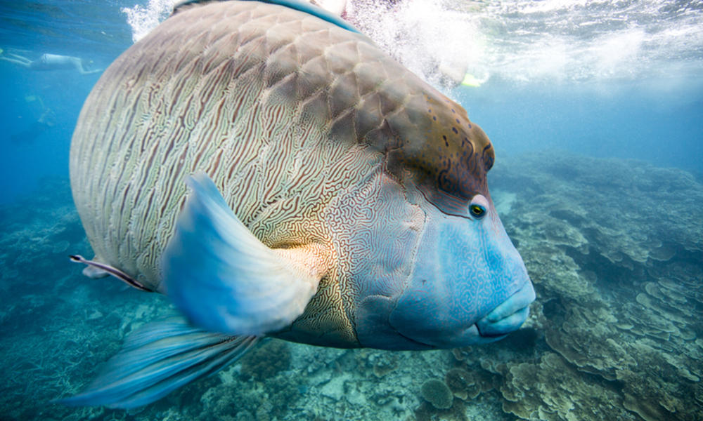 A humphead Maori wrasse (Cheilinus undulatus) on the Great Barrier Reef, Cairns, Australia.
