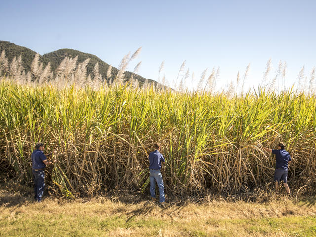 Gerry Deguara and his sons, Sam and Joe, at his sugarcane plantation, Mackay, Queensland, Australia.