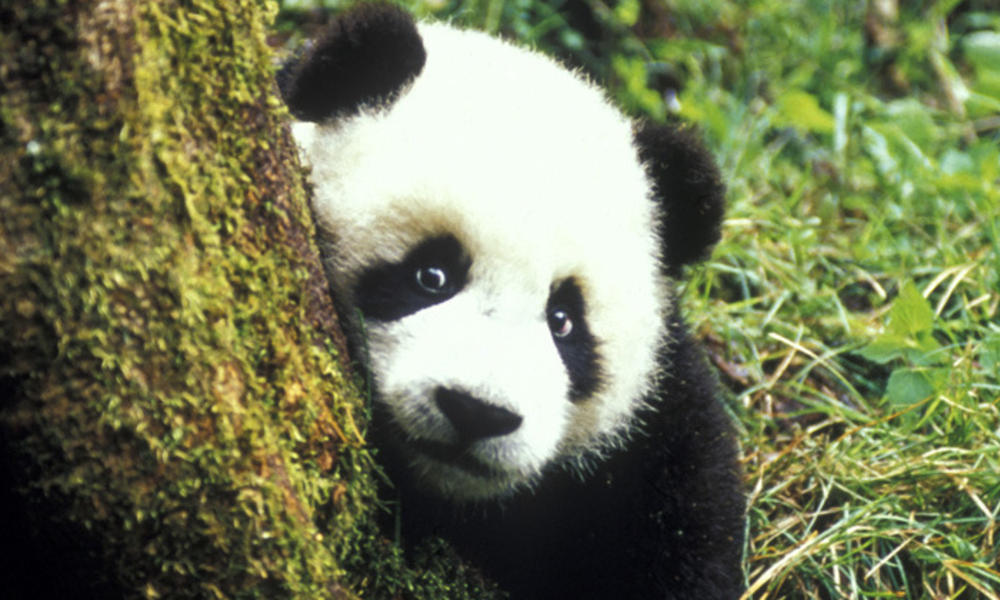 panda and tree