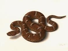 Scr 57947 rattlesnake