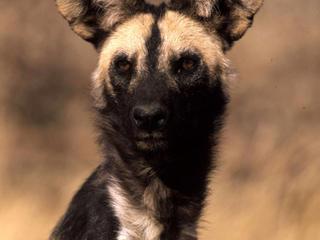 LG_African_Wild_Dog_Circle_Image_102720.jpg