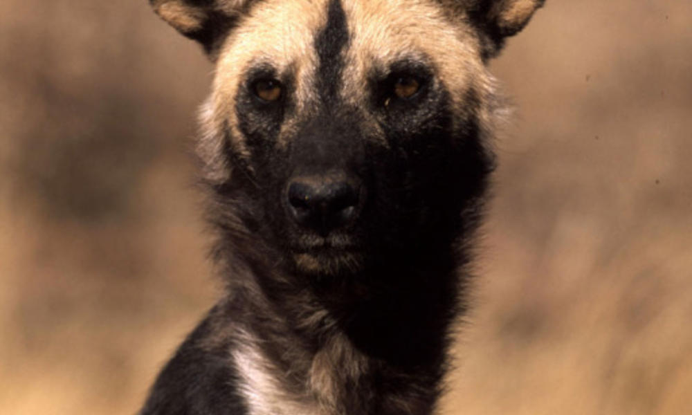 LG African Wild Dog Circle Image 102720