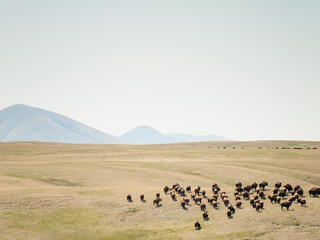 Sweeping view of a herd of bison grazing in the vast Norhtern Great Plains.