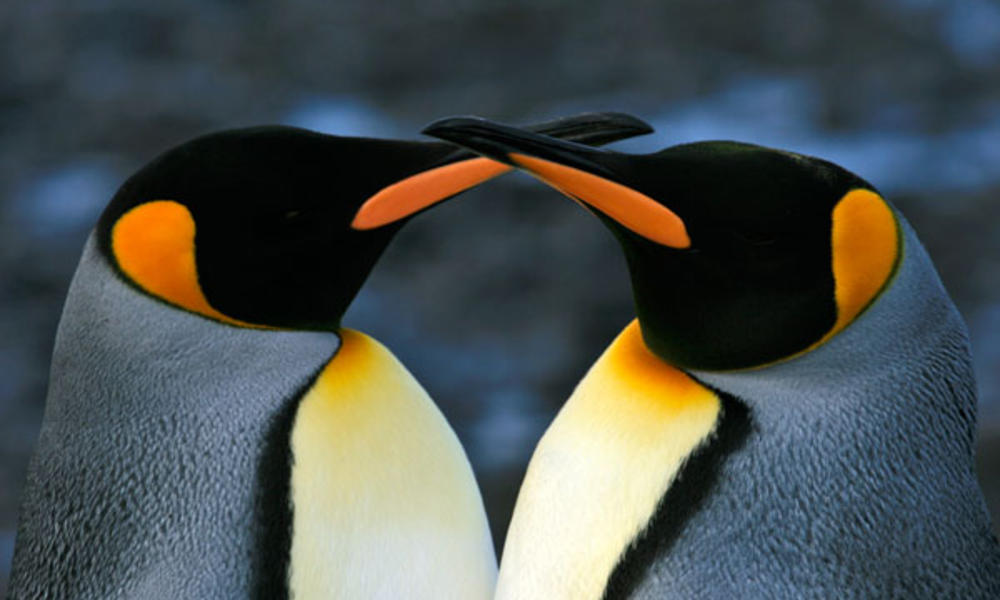 King Penguins | Photos | WWF