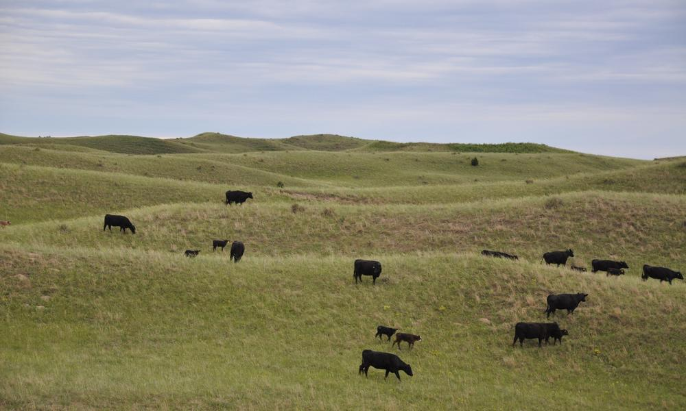 Cattle roaming on a rancher's open field of the Northern Great Plains.
