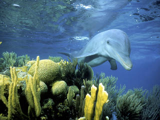 bottlenose dolphin in Belize