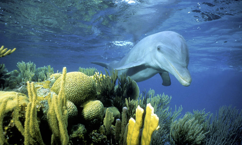 bottlenose dolphin in Belize