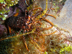 Spotted spiny lobster in Honduras.