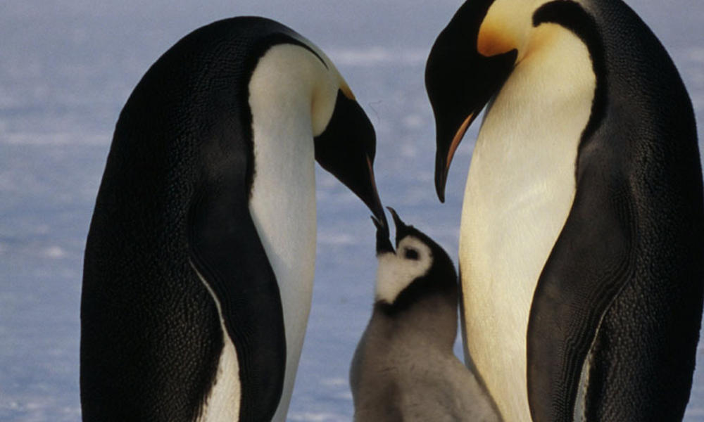 Emperor penguin feeding its chick