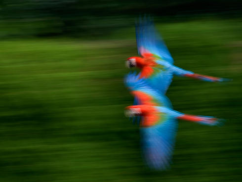 Two Scarlet macaws flying