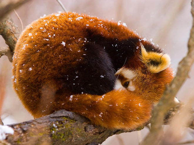 Red panda (Ailurus fulgens) resting on branch in snow, China