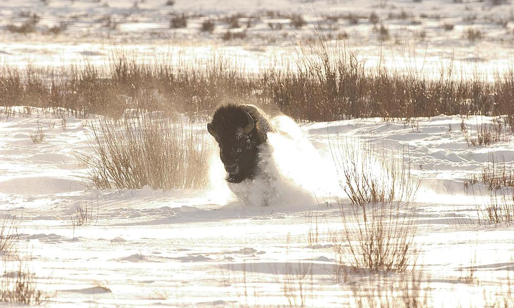 bison charges in snow