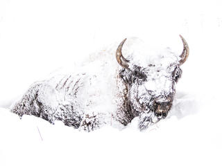bison covered in snow