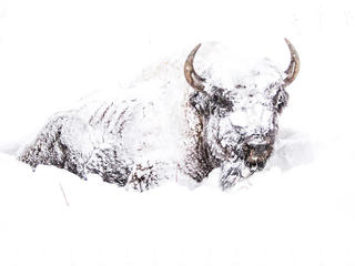 bison caked in snow