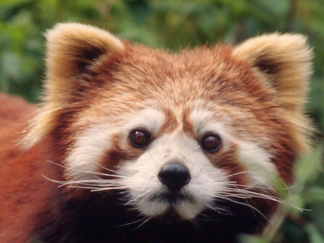 Image of: Poaching Red Panda World Wildlife Fund Red Panda Species Wwf