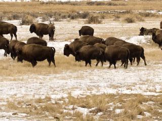bison group