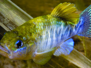 julimes pupfish