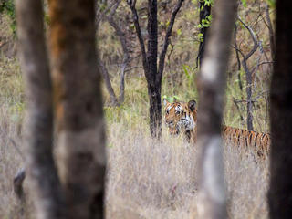 Male tiger eyes a herd of cattle.