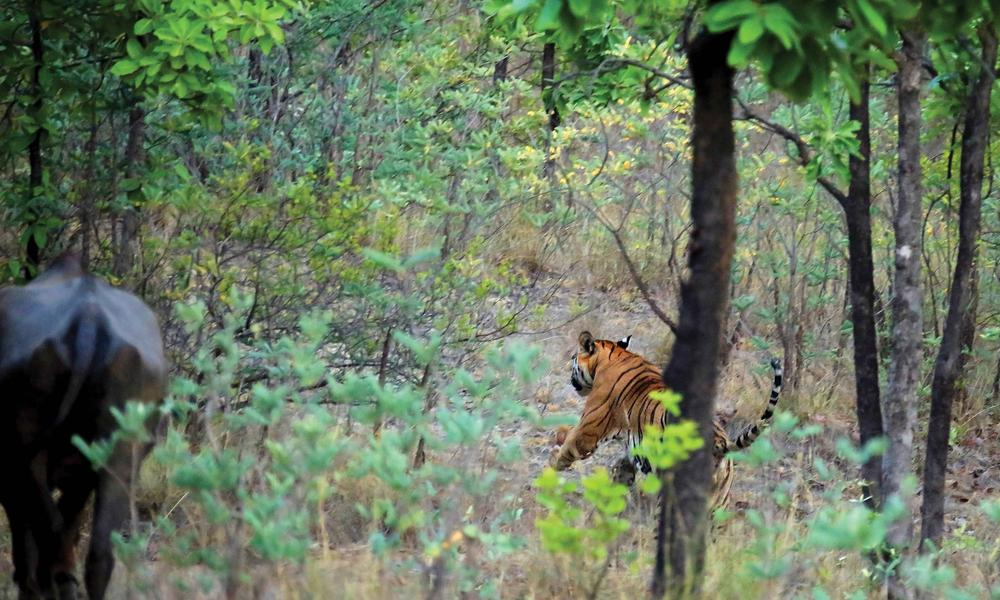 Male tiger moves closer to herd of cattle.