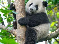 Shutterstock 198111542 panda