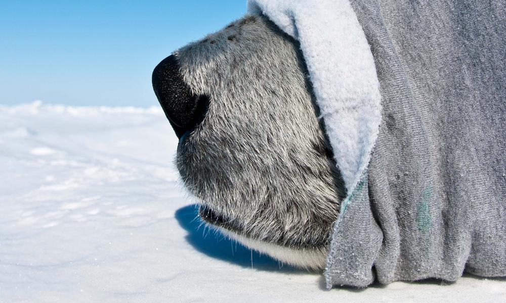 polar bear nose
