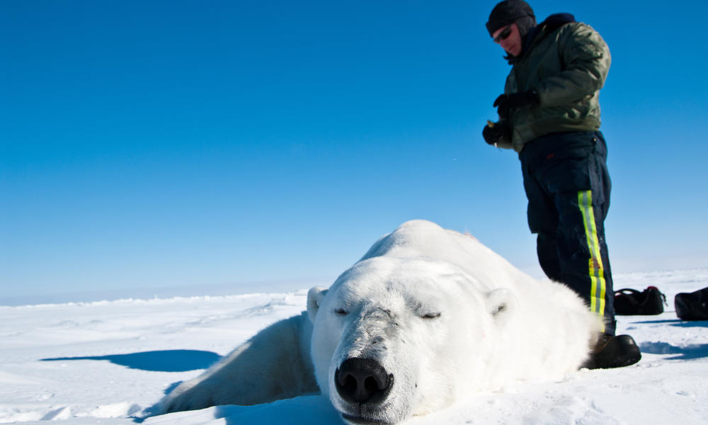 polar bear down